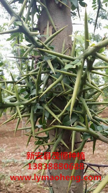 皂角树苗的种植效益如何