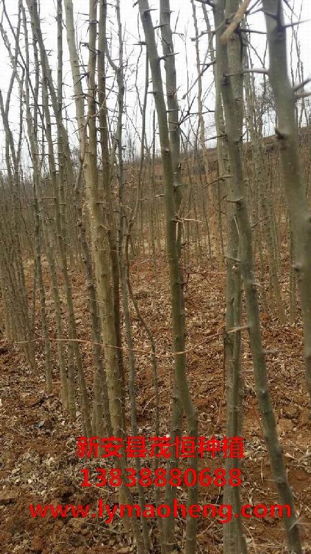 皂角树基地如何栽植苗木