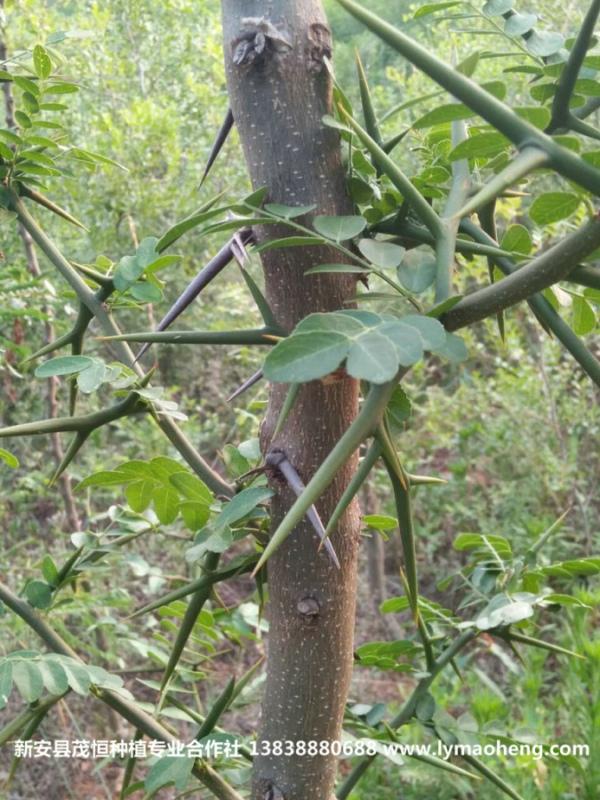 皂角树这样种,准保只赚不赔