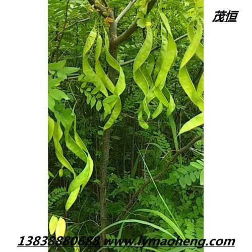 皂荚树的神奇功效有哪些