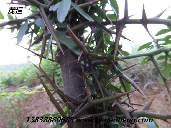 皂荚树育苗地选择及苗期的管理方法