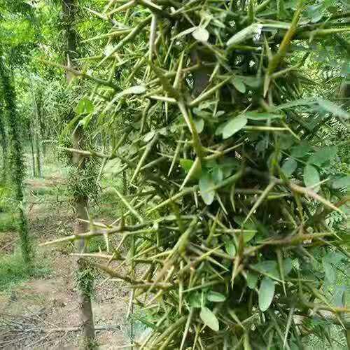 皂角树的培育技巧你知道吗
