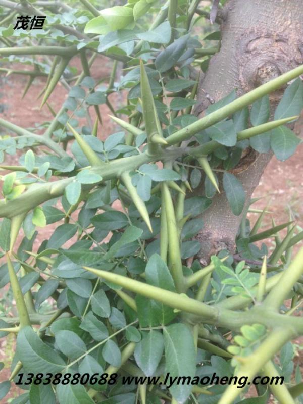 皂角树苗的挑选方法