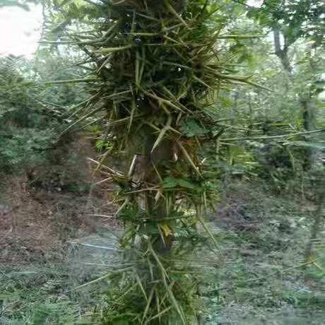 栽种皂角树苗十分讲究