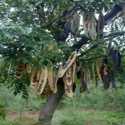 皂角树你真的了解吗