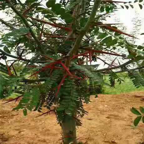 皂角树苗怎么种