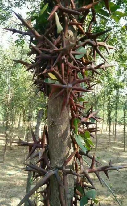 皂角树移植方法步骤是什么