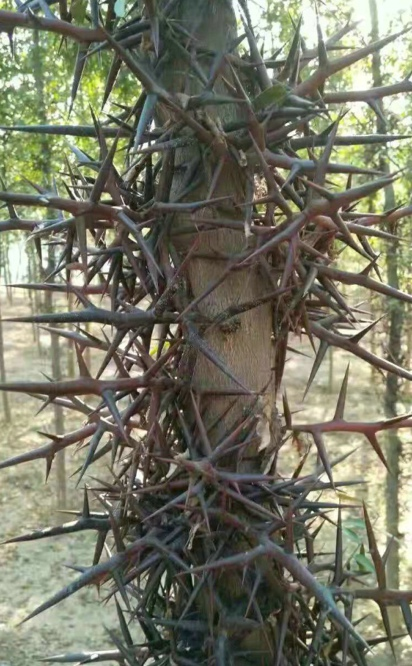 皂荚树种植的好时期是什么时候呢
